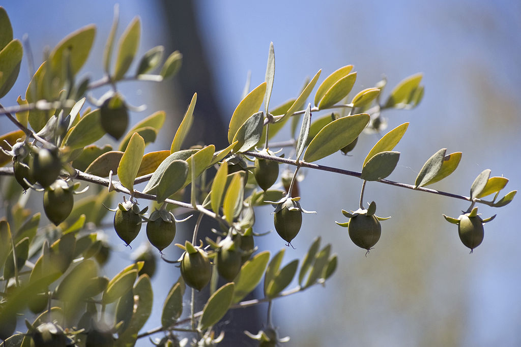 bienfaits et vertus de l'huile de jojoba